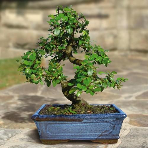 Buy Bonsai Elm Parvifolia S Style Tree 9 Yr In Nepal On