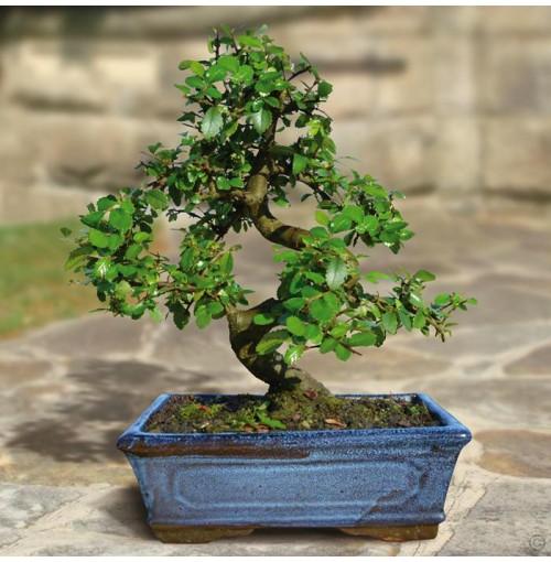 Bonsai Elm parvifolia S Style tree- 9 yr