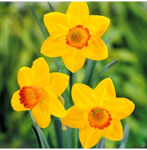 Daffodil flower bulbs- seeds