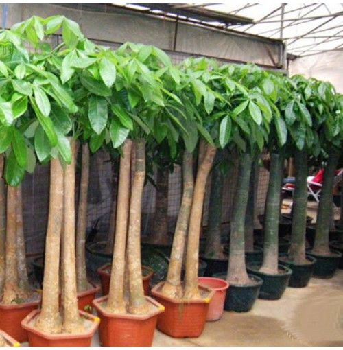 Buy Indoor Plants In Nepal On Best Price - Big indoor plants